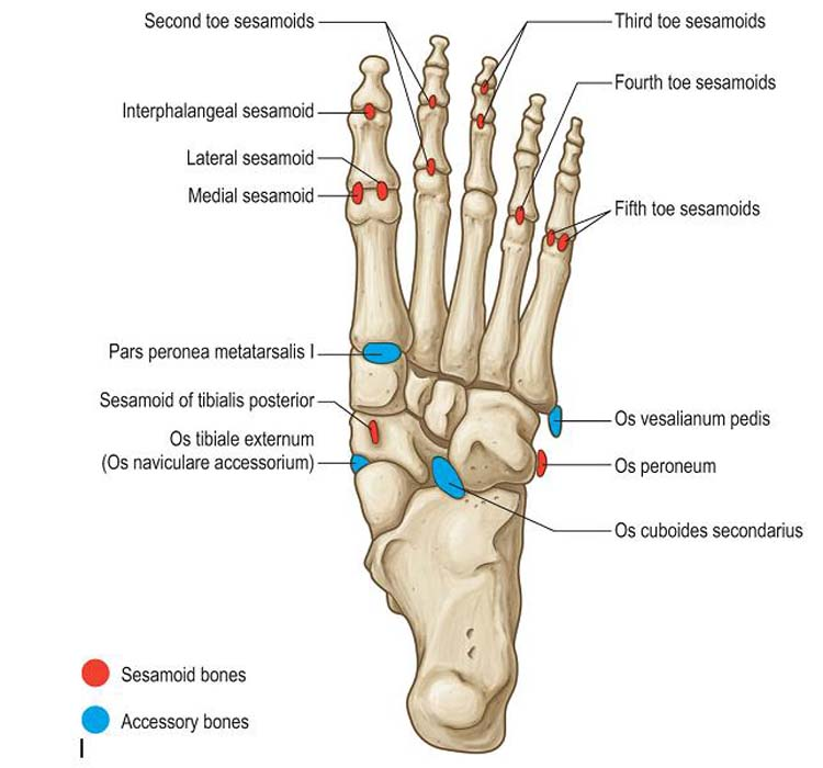 Accessory Bones of the Foot - Foot and Ankle Academy